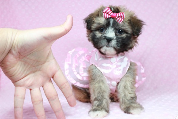 Magnificent Malshi Puppies