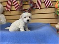 Hello I have two very cute Maltipoo puppies for sale They are both males and were born 6-13-21 Th