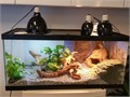 Hi Im selling my bearded dragon and his ENTIRE terrarium setup including the lights and 50 gallon r