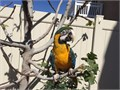 Harligold Macaw approximately 2 and a half years old He is a male DNA test ce