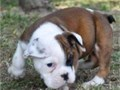 Adorable litter of English bulldog puppies We have males and females ready to go home now 600 The