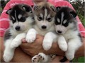 Halo ya if u wanna a beauty and purebreed husky when puppy growed up i can 100 sure they are loo