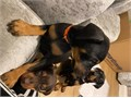 Weve Boys and girls available both Red and Black Color Puppies will come with kennel club paperwor