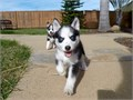 Puppys name BaliBreed PomeranianHuskyAge 13 weeks oldRegistry NAEstimated adult weigh