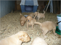 Five male AKC Golden Retriever puppies for sale 85000 each a deposit of 42500 will hold your p