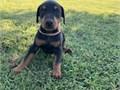 Beautiful Tan Doberman Pinscher girl gave birth for 6 wonderful puppies Two gir