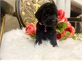 Labradoodle puppies available now 1 male 1 female left Have had 1st shots and been dewormed Aski