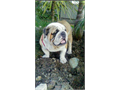 AKC REGISTERED ENGLISH BULLDOG STUD PROVEN PRODUCER OF LARGE LITTERS SHORT COMPACT LPTS of wrinkles