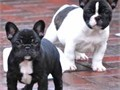 Here are litters of quality French Bulldog Puppies We have boys and girls availablePuppies are ver