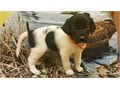 We have an excellent line of Hybrid Retriever puppies We have some puppies available now  some soo