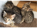 F1 -  F3 Savannah kittens Male Female Contact us for more information Visit  w w w  jmrcksavana