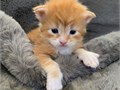 Maine Coon Kittens Available from 26th of June Variety of Colours and SexesWormed Vet checked