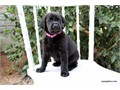 AKC BLACK LAB  PUP Male  8WKS OLD  UP TO DATE WITH SHOTS AND DEWORMING HAVE BEEN RAISED IN A FAM