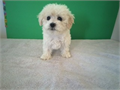 Cream color Babydoll face Maltipoo puppy available for new home up to date on shots and deworm l