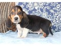 Basset HoundPeaceful male and female Basset Hound puppies for salefor Serious inquiries pleas