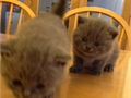 steadfast British kittenAll kittens are raised in our home and are well socialized and handled da