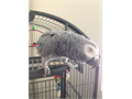 13 year old female African Grey Large vocabulary and very smart Started to lay eggs this year Com