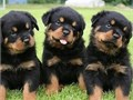 Humor Rottweiler Puppies For further question or fast response textcall at 43