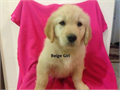 Golden Retrievers Puppies AKC Up to Date on Shots Dewormed 3 Females Ready to go to their new L
