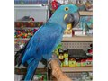 Good talker and hyacinth macaw parrot for sale now Text us directly at 971 238-4391 for more detai
