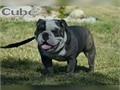 STUD SERVICE ONLY Cube is a beautiful blue trindle  akc  ioeba register english bulldog he has a sm