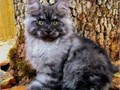 495 TO 1400  CFA Registered kittens and young adults for sale  Impressive Ch