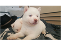 ALL WHITE HUSKIES   3 all white Huskies with Crystal Blue Eyes 2 Males 1 Female 3 Brow