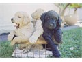 We have two All black females Goldendoodle puppies remaining  out of our litter of 7 Top of the lin