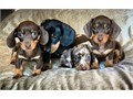 We have a fantastic litter of smooth haired miniature dachshund puppies AVAILABLE Silver dapple  ta