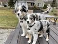 Australian ShepherdReservation before picking up 150Charming Australian Shepherd puppies