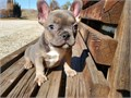 Frenchie Bulldogs We now have available our frenchie pups looking for a forever