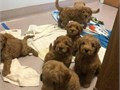 We have 9 litters do golden doodle ready for re-home there have been well traine