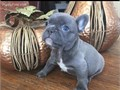Gorgeous rare mini silver blue top of the line muscular short small French Bulldog puppy blue eyes m