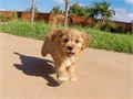 Puppys name RustyBreed Golden RetrieverToy PoodleAge 10 weeks oldRegistry NAEstimated