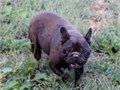 Frenchton bulldog puppies 6 weeks old 1250 Up to date on shots worming and ha