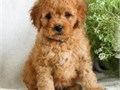 golden doodle puppies up for adoption for more info and pics please call or send text to 2133575110