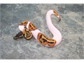 These gorgeous new babies of  Piebald ball pythons will make great pets All our ball pythons are ca