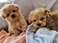 Gorgeous and Healthy Malti-poo pups available for loving new homes Male and fem