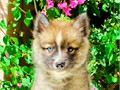 Name Tundra First Generation Pomsky F1 One blue eye Shes a beauty with the best personality to