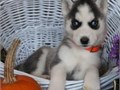 siberian husky puppies up for adoption for more info and pics please call or send text to 2133575110
