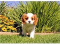 Jaco is a Fantastic male Cavalier He is 9 weeks old and AKC registered This pup is up to date on h