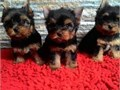 Adorable 12 weeks old male and female Yorkie thats needs a new home Gets along with cats but is te