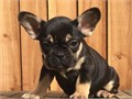 Beautiful pedigree French bulldog pup available Puppy carry chocolate and tan bluecream and all ky