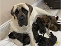 We have 8 beautiful AKC Champion Bloodline mastiff pups available Born Dec 29th 2019 will be avail