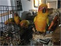 Colorful and beautiful young Sun Conures for Sale  These Sun Conures were raised with the best food