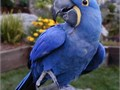 Hyacinth Macaw very good health and are so activeTexts only at 620 869-1512