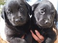 Black English Lab Puppies Big Beautiful Blockheads Big and stocky Purebred w papers they are cu