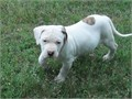 NKC Registered american female bulldog pups born 226 some solid white and some with color please c