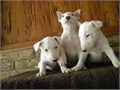 English Bull terrier Puppies For sale We have 4 lovely English bull terrier young puppies The puppi