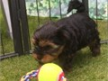AKC Yorkie PuppiesBeautiful AKC Yorkie puppies Sire is small and DNA tested Dam is bluegold and